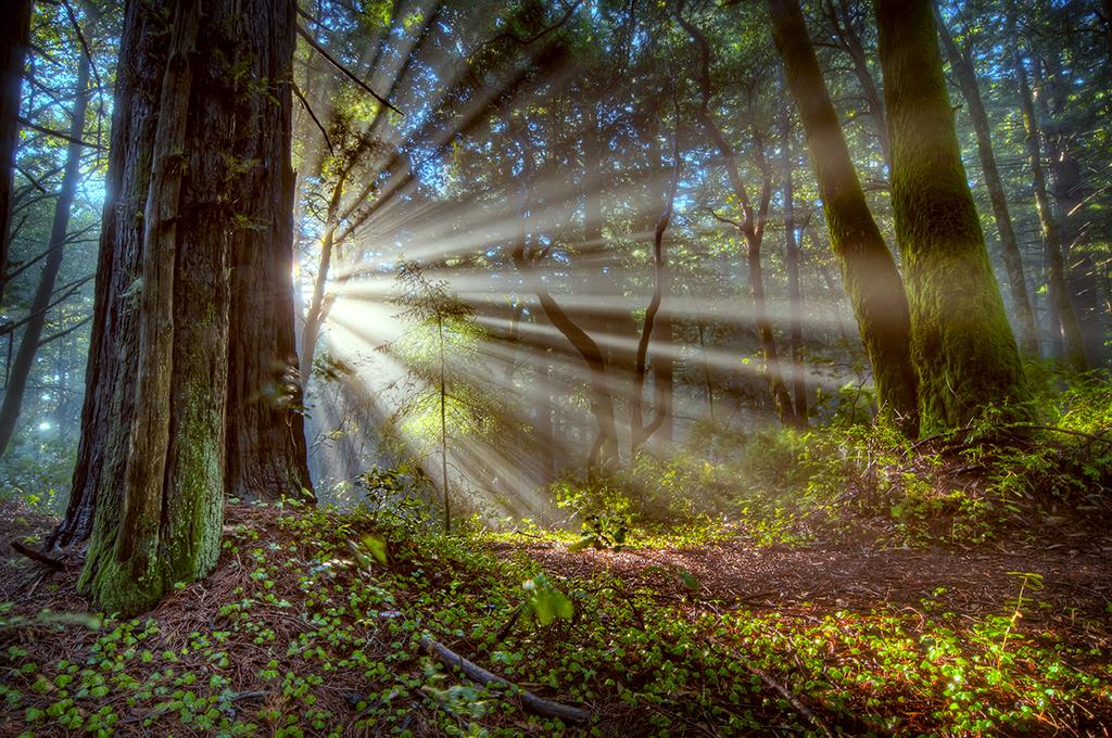 Redwood Fog 01