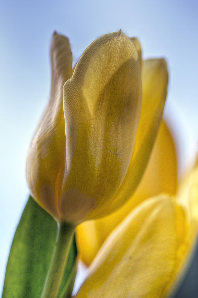 Spring Tulip 02